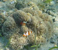 lucie-wright-clownfish.jpg