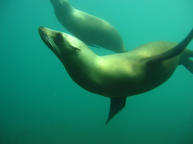 Do Marine Mammals get the Bends? scuba environment freediving  Woods Hole Oceanographic Institute WHOI whales the royal society the bends seals sea lions scuba diving scuba nitrogen absorption news marine mammals freediving dolphins decompression sickness dcs